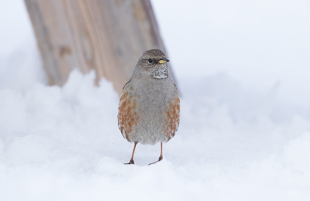 Alpine accentor, French Alps