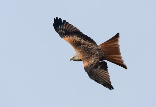 Red kite at the Yorkshire Showground