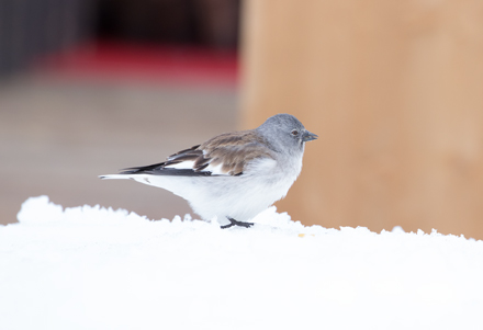 Snow finch, French Alps