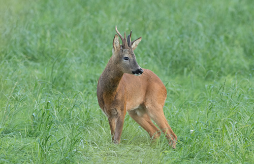 Roe buck, North Yorkshire