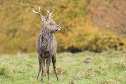 Sika stag, Studley Royal
