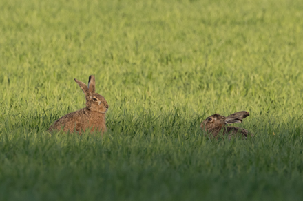 Hares, Watergate Road