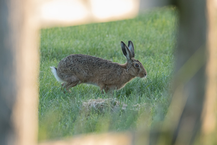Brown hare, Watergate Road