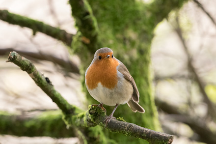 Robin, Yorkshire Dales