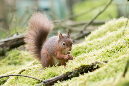 Red squirrel, Yorkshire Dales