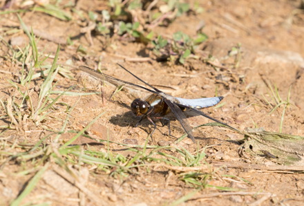 Black-tailed skimmer dragonfly, Timble Ings