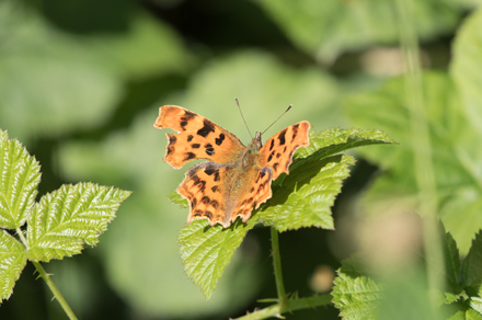 Comma butterfly, High Batts