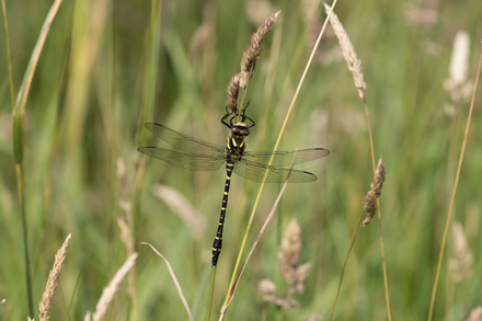 Golden-ringed dragonfly, Timble Ings