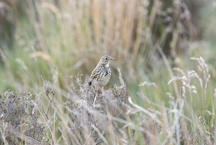 Meadow pipit, Kex Gill Moor