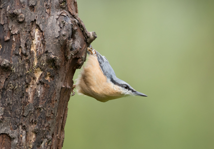 Nuthatch at High Batts