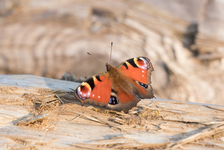 Peacock butterfly on a log