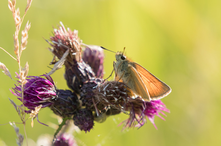 Small skipper butterfly, Timble Ings