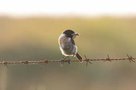 Stonechat with a moth
