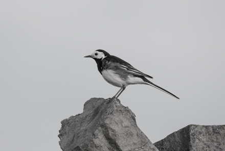 Pied wagtail, Kex Gill Moor