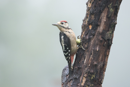 Great spotted woodpecker at High Batts