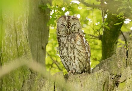 Tawny owl at Studley Royal