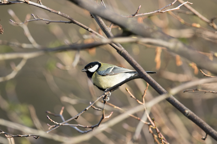 Great tit at High Batts