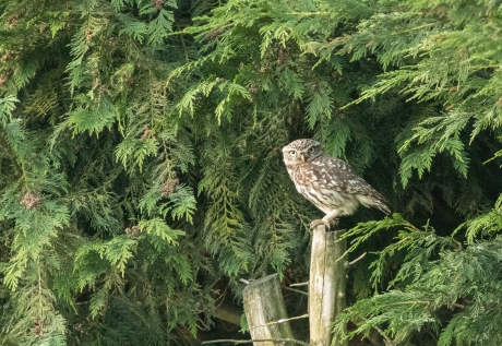 Little owl, Bilton