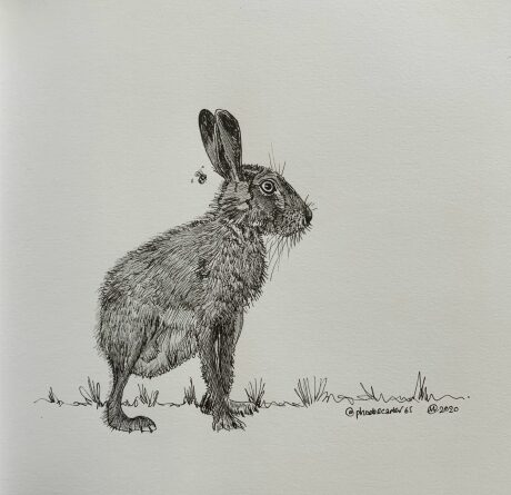 Pheobe Carter brown hare drawing