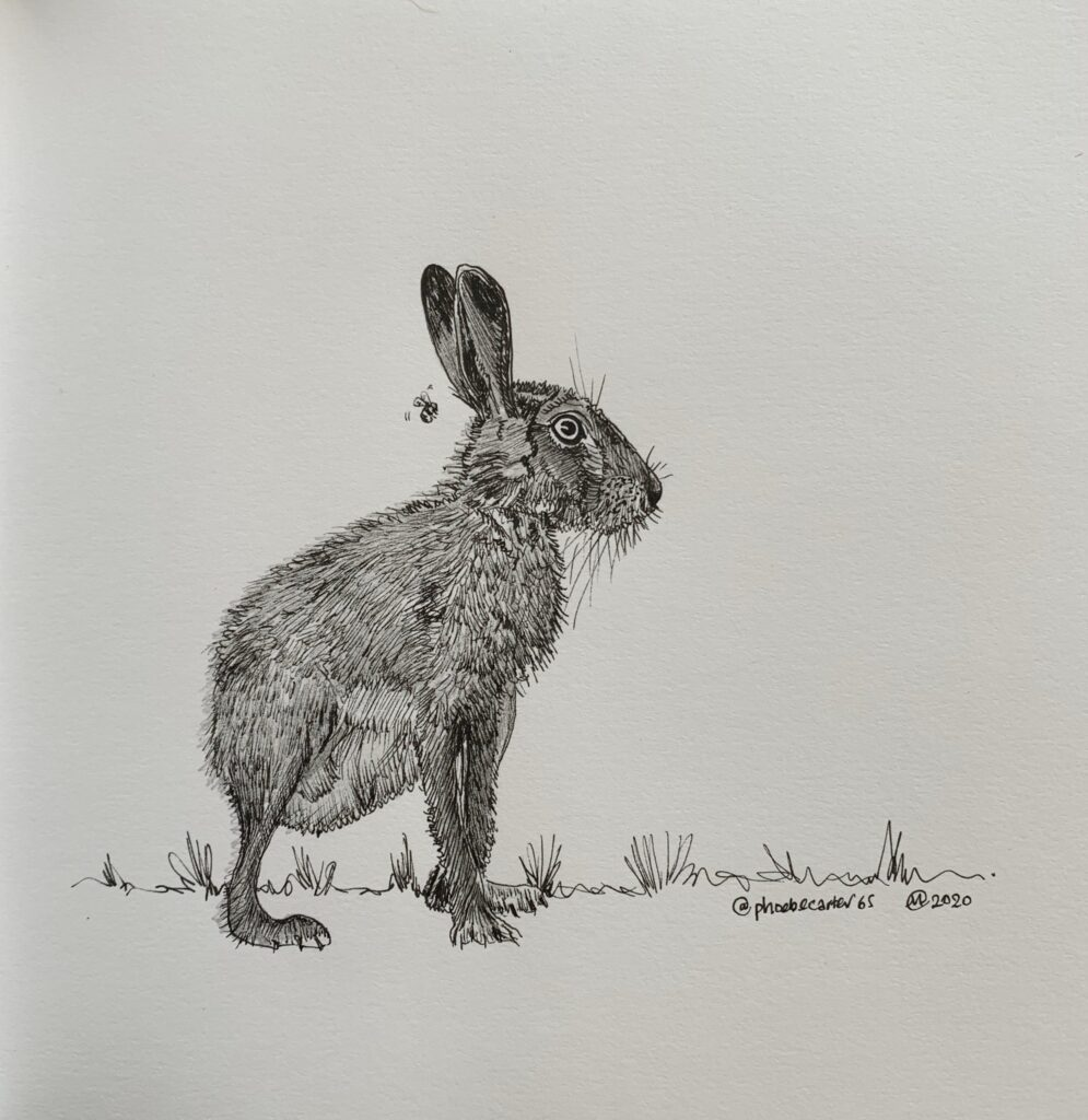 Drawing of a hare by Phoebe Carter