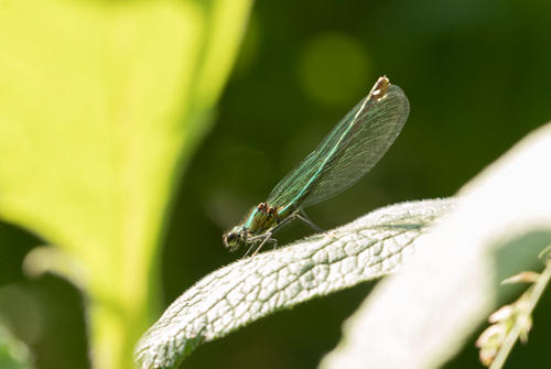 Banded demoiselle at High Batts