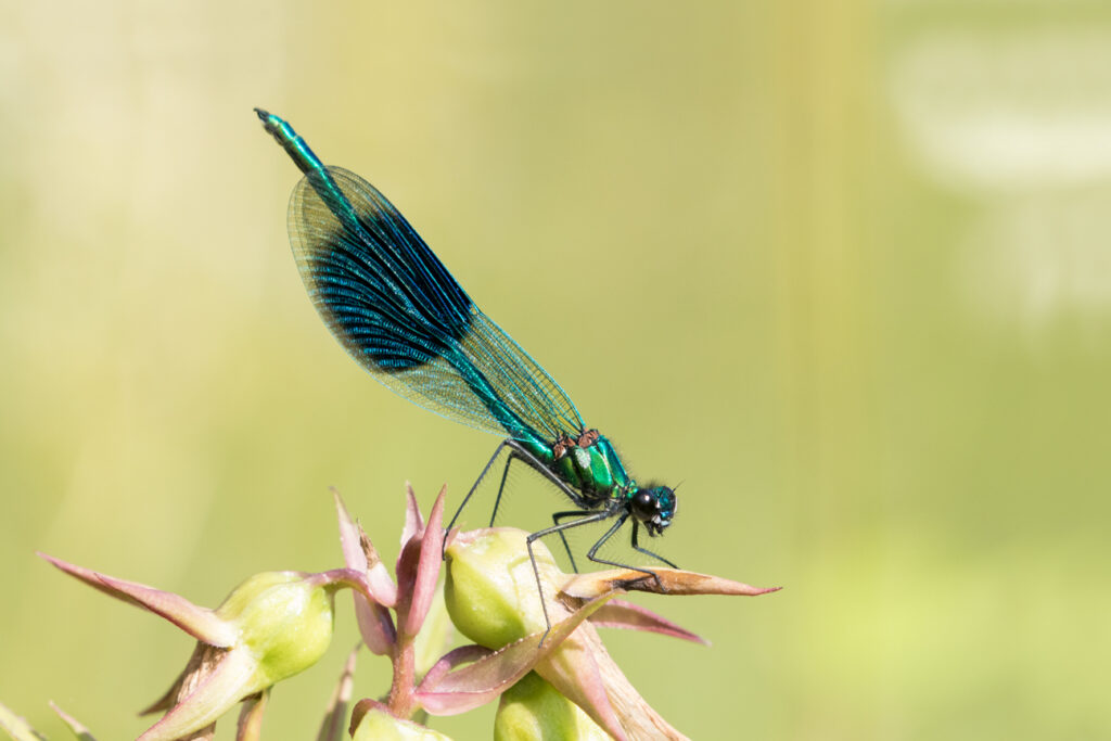 Banded demoiselle, High Batts