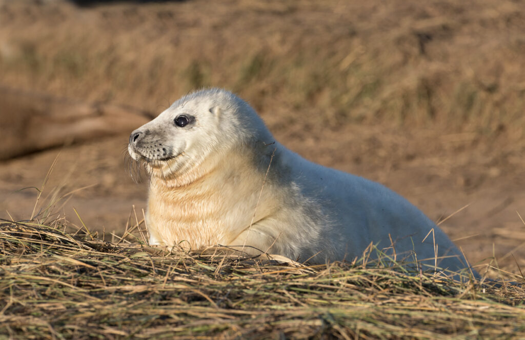 Seal pup, Donna Nook