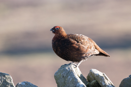 Red grouse, Kex Gill Moor