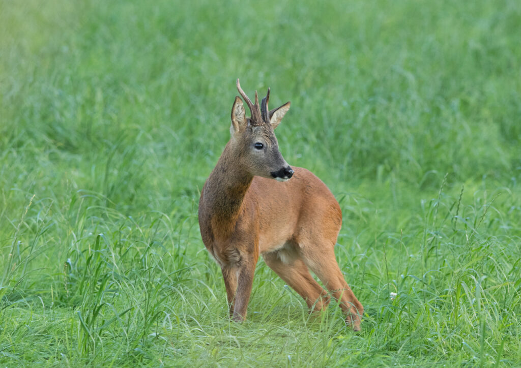 Roe buck, How Hill