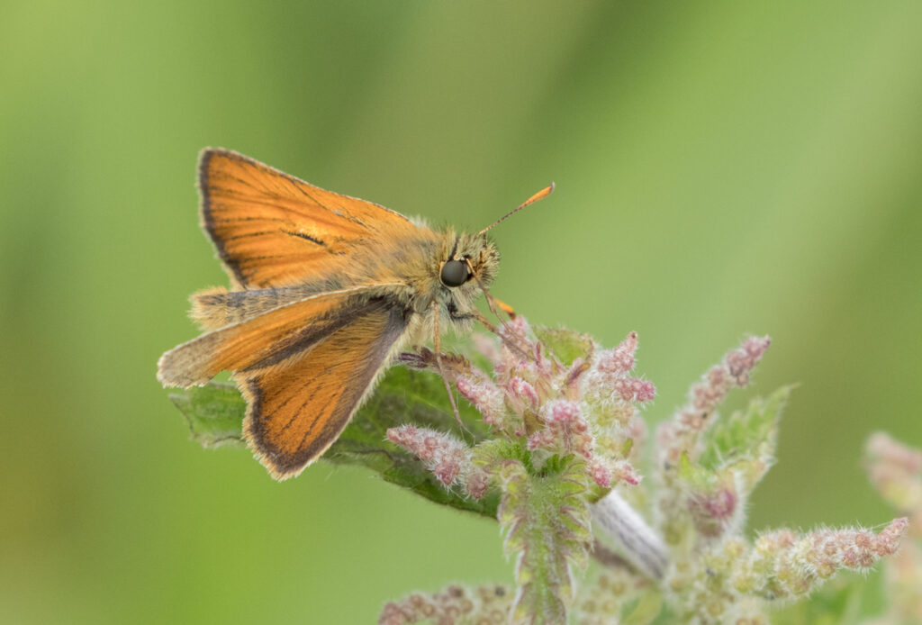 Small skipper, Timble Ings