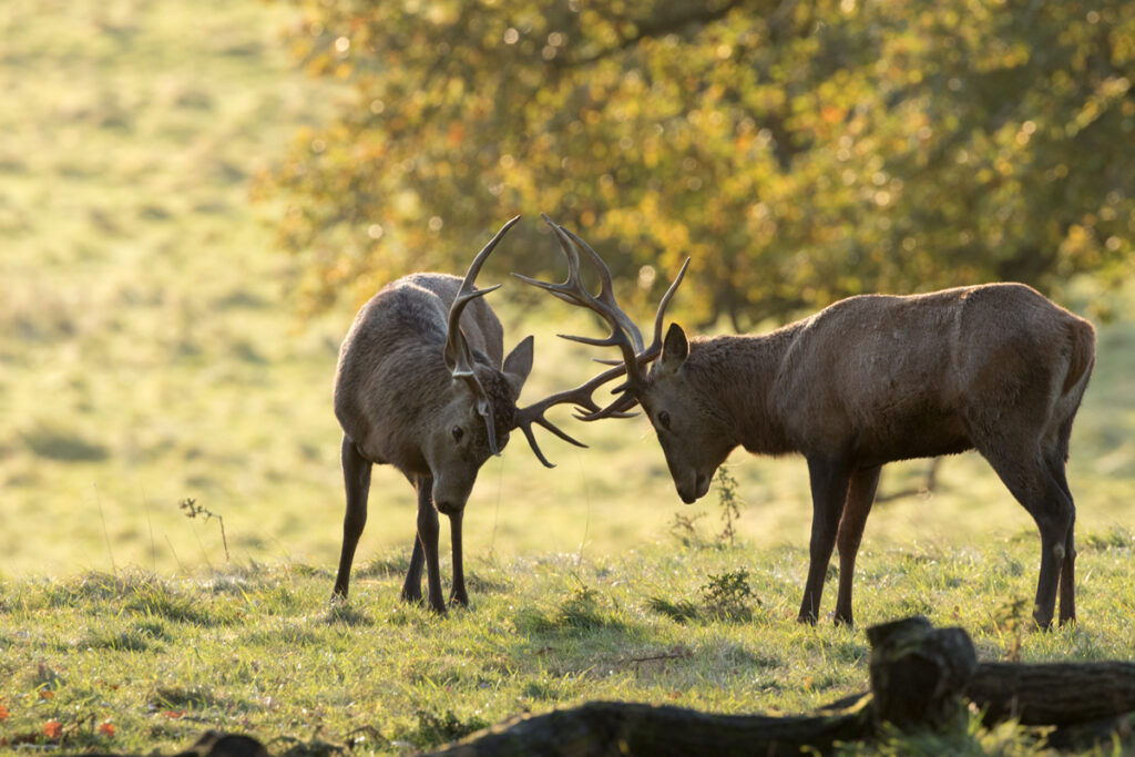 Stags, Studley Royal