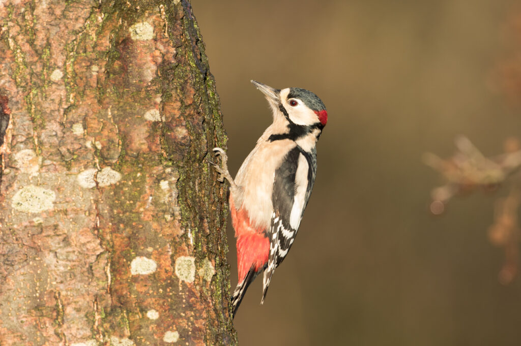 Great spotted woodpecker, High Batts