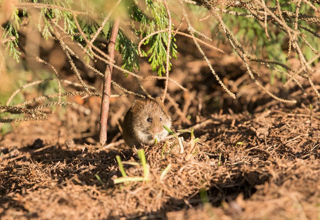 Field vole, Yorkshire Showground