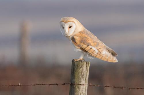 Barn owl, Kex Gill Moor