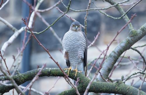 Sparrowhawk in Harrogate